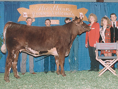 Donors Whr Shorthorns Shorthorn Cattle In Texas